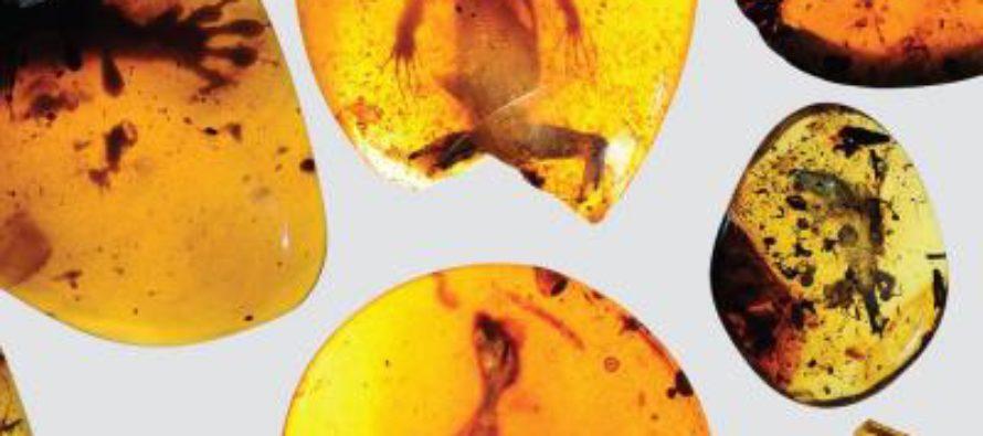 Encuentran el camaleón más antiguo del mundo preservado en ámbar