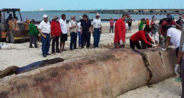 Causas naturales, la causa de la muerte de un rorcual (Balaenoptera physalus) varado en Yucatán