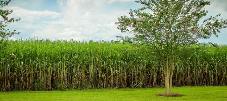 El Niño ha provocado escasez global de azúcar