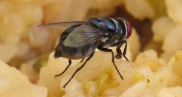 Sí una mosca se para en tu comida, ¿deberías tirarla?
