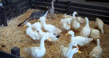 Sacrifican a casi 11 mil patos al detectar el primer brote de gripe aviar en Corea del Sur