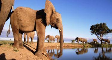 Los elefantes africanos siguen disminuyendo por la caza furtiva