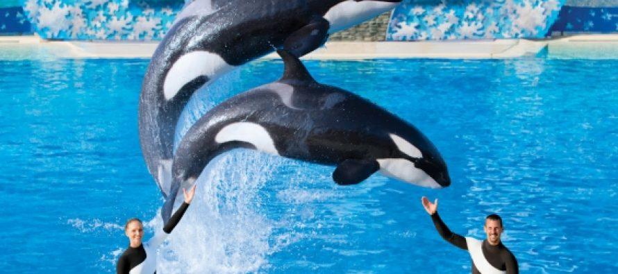 Seaworld anuncia el final de su programa de cría de orcas