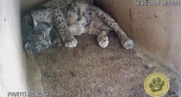 La lincesa Adelfa mata a dos de sus crías en el Centro de Cría en Cautividad de «El Acebuche»