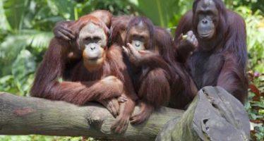 La población de orangutanes se duplica en Sumatra