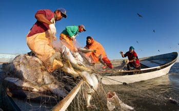 Fijan cuotas de captura de curvina golfina  (Cynoscion othonopterus) Golfo de California