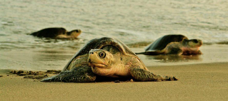 1.5 millones de nidos de tortuga golfina (Lepidochelys olivácea) en Oaxaca