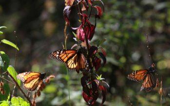 Mariposa Monarca, referente para medir el cambio climático
