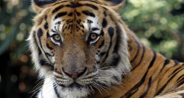 Población mundial de tigres aumenta por primera vez en un siglo