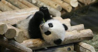 Nacimiento de pandas en cautiverio en Canadá