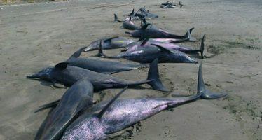 Casi 50 delfines están varados en una playa del Pacífico panameño