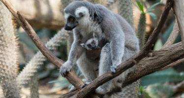Presentan al público a tres bebés de lémur en NY