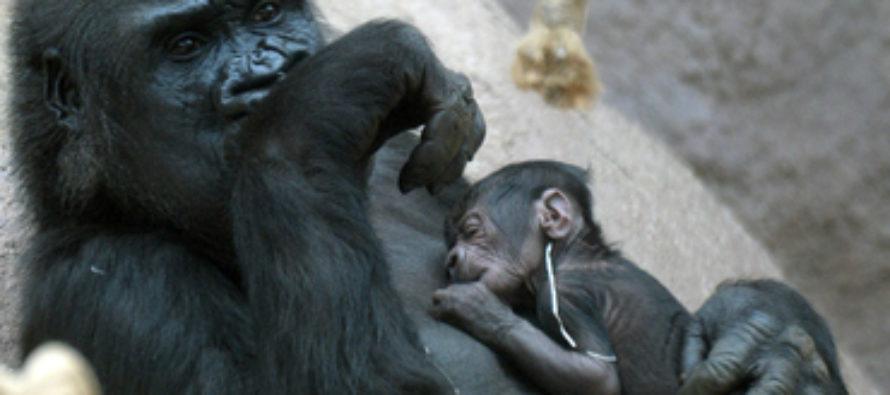 Gorila da a luz en zoológico de Praga y sorprende a todos