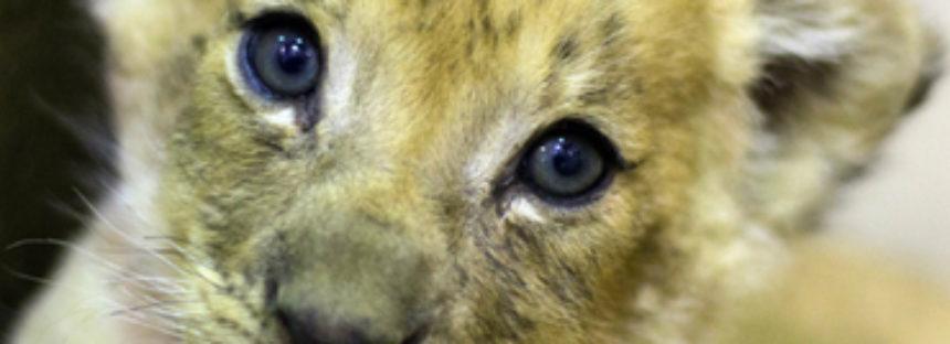 Zoológico de NY presenta a su nuevo cachorro de león