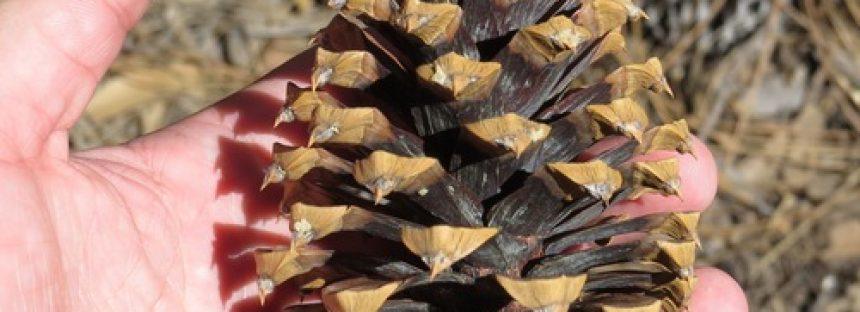 En Sonora, controlan plaga de mosca sierra que afecta a bosques de pino (Pinus engelmannii)