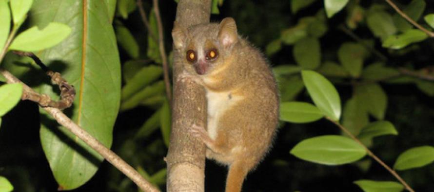 Descubren tres nuevas especies de primates en Madagascar