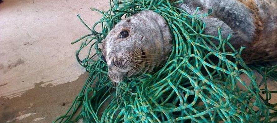 Rescatan a una foca gris de morir «enredada»