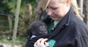 Gorila bebé nació por cesárea en el zoo de Bristol