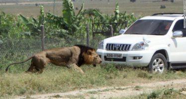 Matan a tiros al león Mohawk en Kenia