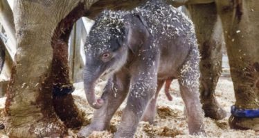 Nació en Praga el primer elefante concebido en cautiverio