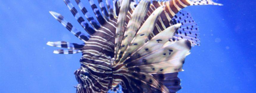 Costa Rica lucha contra el pez león