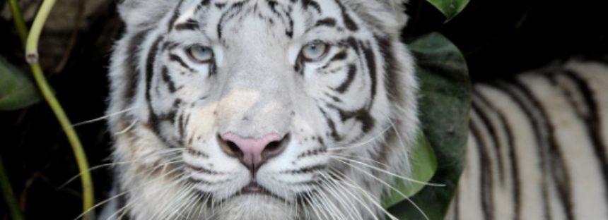 Camboya busca reintroducir al tigre en las junglas del país