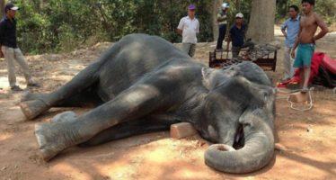 Muere un elefante por cargar a dos turistas en Camboya