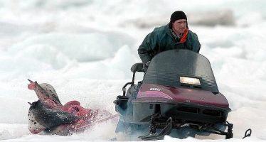 Caza comercial de focas: Canadá aún no ha anunciado la cuota para la temporada 2016, que comienza el domingo