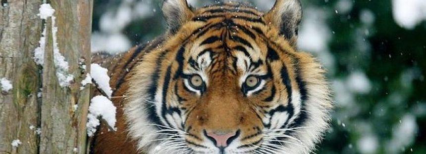 La población silvestre de tigre aumenta por primera vez desde 1990
