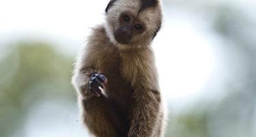 Los simios asiáticos desaparecieron en épocas heladas