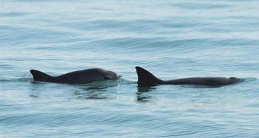 Advierten que vaquita marina está al borde de la extinción