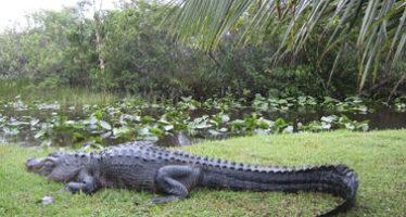 Buscan preservar vida silvestre de cocodrilos en Sinaloa