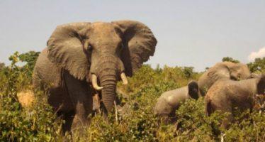 El próspero negocio de fabricar papel con estiércol de elefante