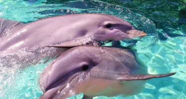 Caza ilegal de más de dos centenares de delfines rosados en Bolivia