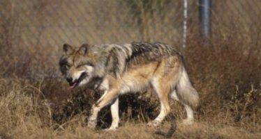 El lobo mexicano sobrevive en Arizona y Nuevo México
