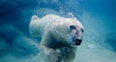 Osos polares: Cada vez menos suelo firme y más agua
