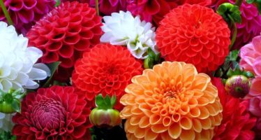 La Dalia, flor nacional de México