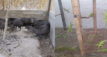 Aseguran 42 iguanas verdes y 3 crías de pecarí en Acapulco