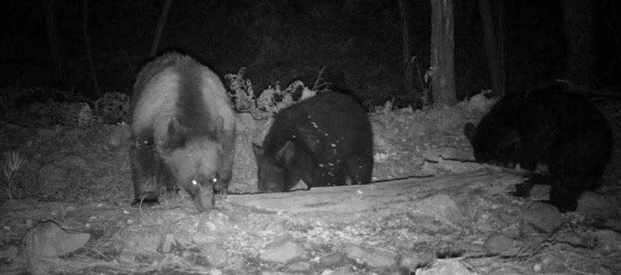Conservan en Chihuahua población de oso negro (Ursus americanus)