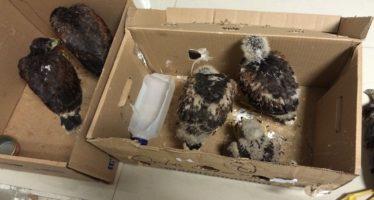 Detienen a  dos personas en posesión ilegal de 9 polluelos hembra de halcón de Harris (Parabuteo unicinctus)