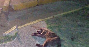 Muere mapache (Procyon lotor) atropellado en malecón de Coatzacoalcos *