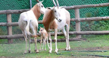 Nace en el Zoo de Morelia cría de especie extinta de la vida silvestre
