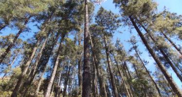 Impulsan el Programa de Plantaciones Forestales Comerciales en Michoacán