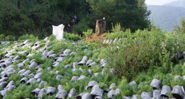 Realizan Jornada de Reforestación en la comunidad de Cuanajo