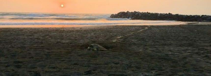 Desova en Boca del Río tortuga lora (Lepidochelys kempii); los huevos están bajo resguardo