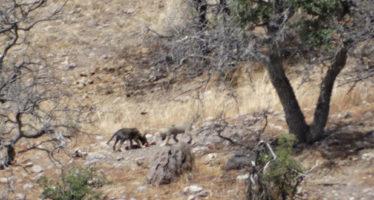 En libertad, nacen cuatro crías de lobo mexicano (Canis lupus baileyi) en Chihuahua