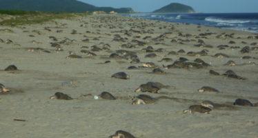 Segunda arribada de tortuga golfina (Lepidochelys olivacea) en Playa Morro Ayuta en Oaxaca