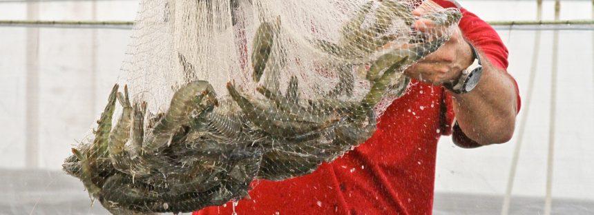 Para compra de semillas y postlarvas de camarón apoyan a acuacultores con 135 MDP