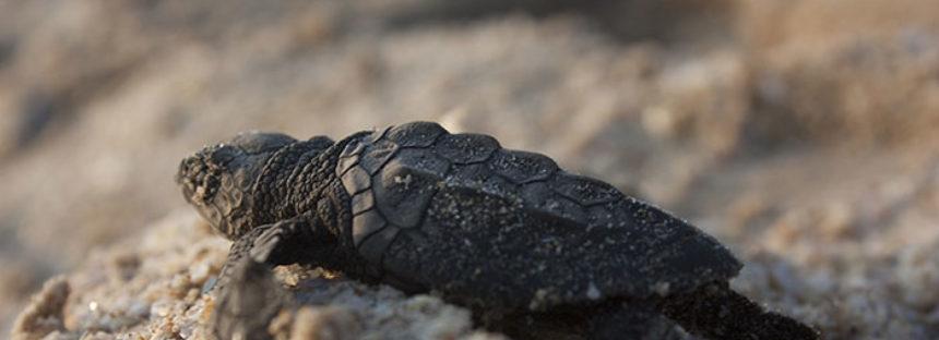 Treinta años de existencia de 16 playas mexicanas que son sitios de refugio y protección de tortugas marinas