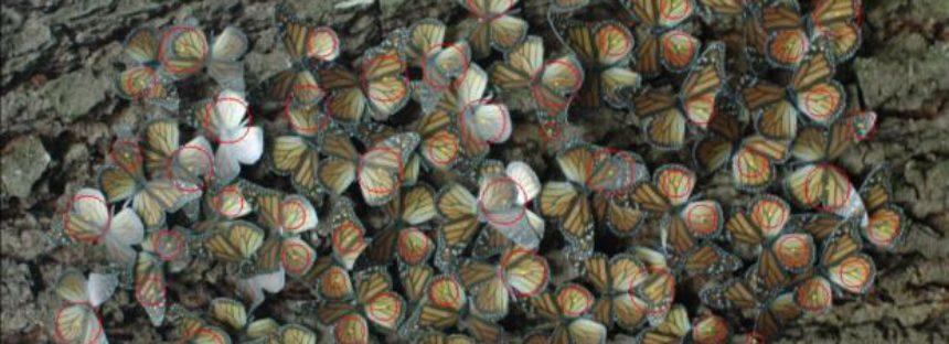 Científicos michoacanos desarrollan innovador modelo digital para conteo de mariposa monarca (Danaus plexippus)